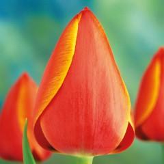 CASE-Tulpen Sorte: Ad Rem