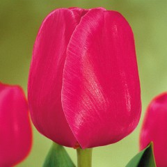 CASE-Tulpen Sorte: Carola
