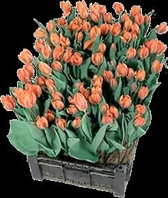 CASE-Tulpen - Tulpen frisch aus der Kiste