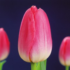 CASE-Tulpen Sorte: Dynasty