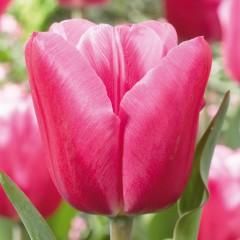 CASE-Tulpen Sorte: Jumbo Pink