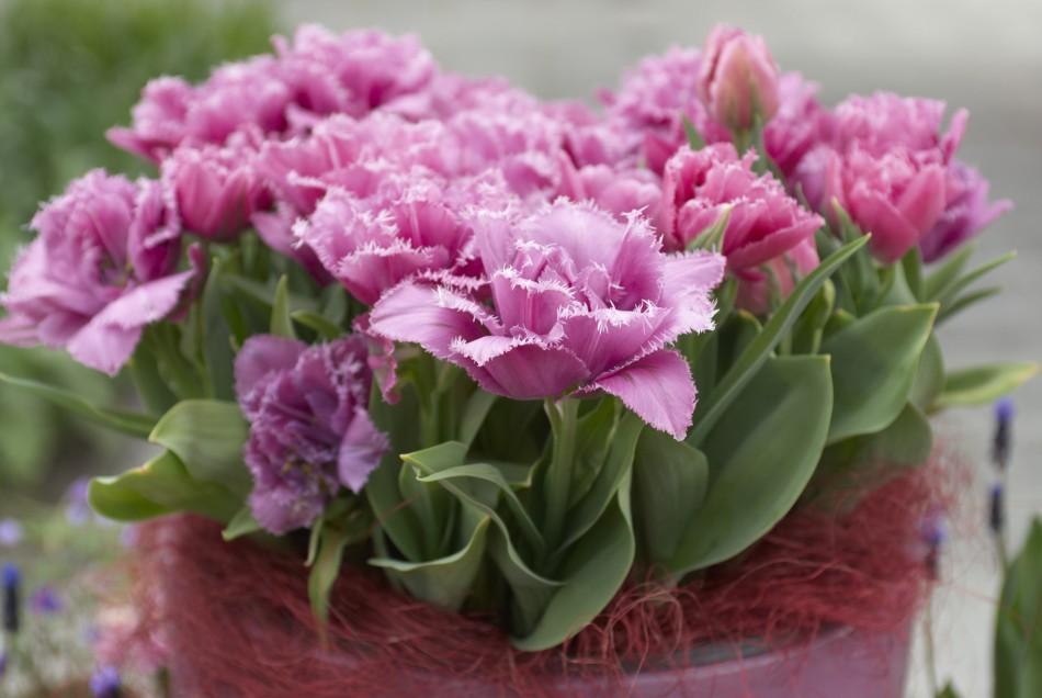 Tulpen-Galerie: Tulipa Mascotte