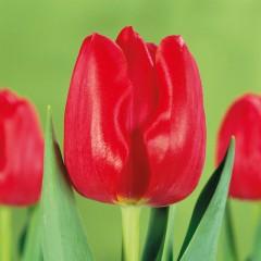 CASE-Tulpen Sorte: Merapi