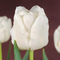 CASE-Tulpen Sorte: Mondial