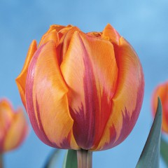 CASE-Tulpen Sorte: Orange Princess