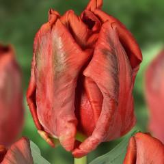 CASE-Tulpen Sorte: Red Bright Parrot