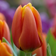 CASE-Tulpen Sorte: Triple A