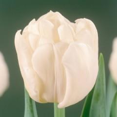 CASE-Tulpen Sorte: White Heart